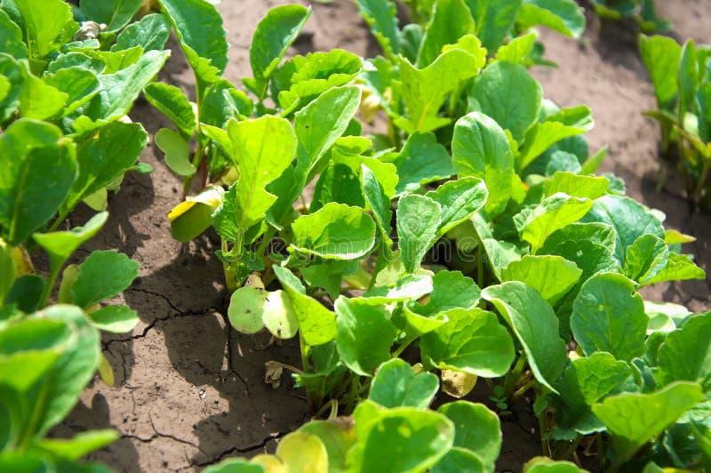 Verts dans le jardin - croissance de jeunes de radis photographie stock libre de droits