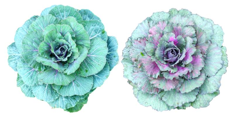 Verts de collard d'isolement sur le fond blanc images stock