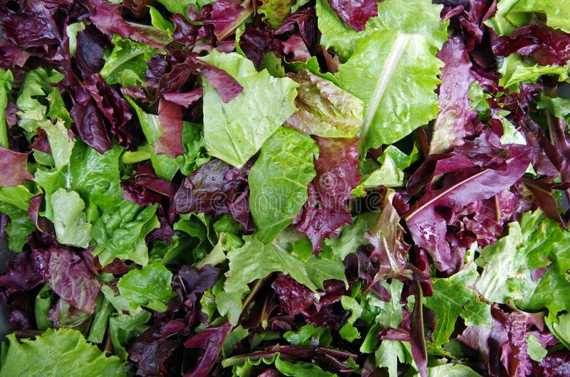 Verts de gisement de salade image stock