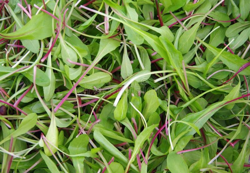 Verts frais de salade de coupe photos stock