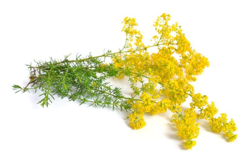 Verum Galium, γυναικείο ` s bedstraw ή κίτρινο bedstraw Απομονωμένος στο λευκό στοκ φωτογραφίες