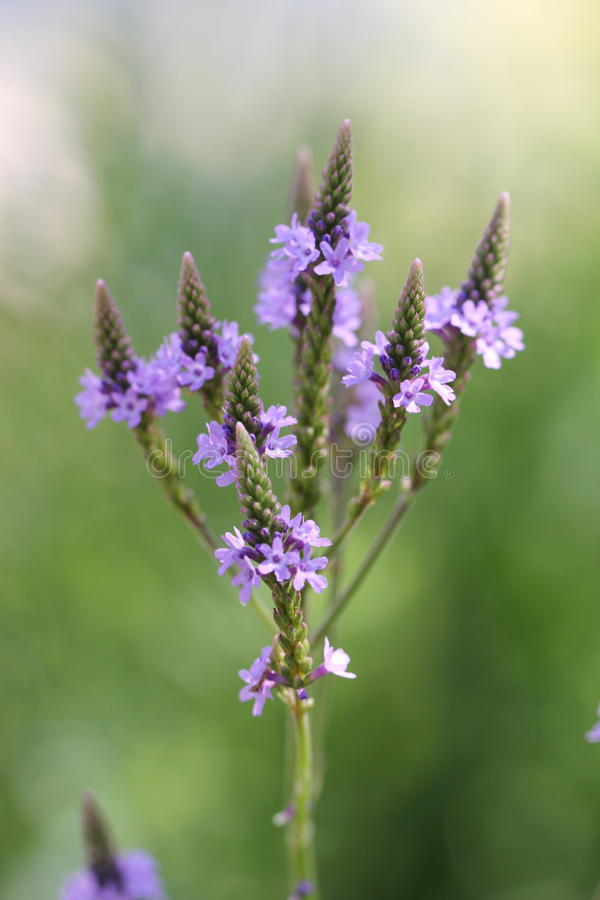 Vervain kwiat obrazy royalty free