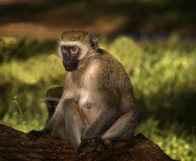 vervet обезьяны Африки стоковые фотографии rf