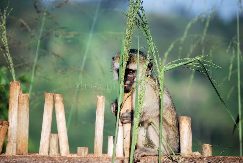 vervet обезьяны стоковые фото