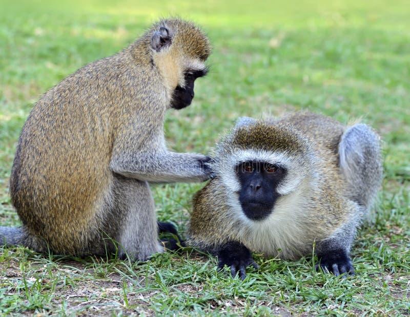 Download Vervet обезьяны стоковое фото. изображение насчитывающей omnivorous - 40582948