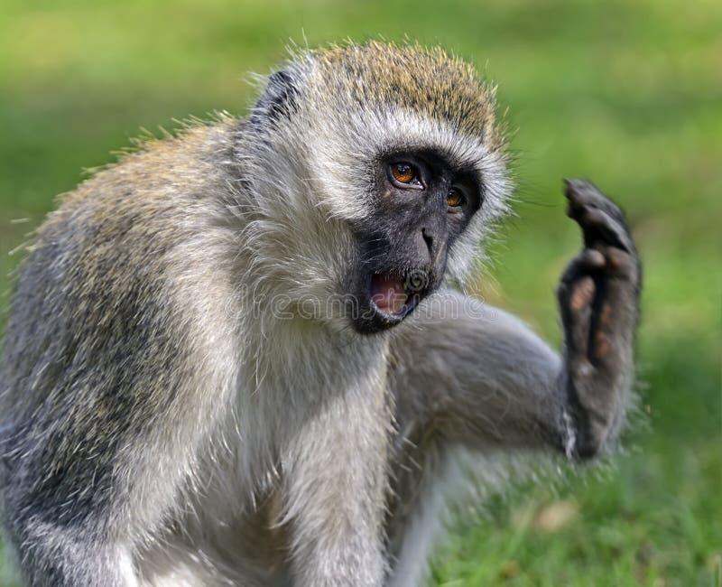 vervet обезьяны стоковое изображение