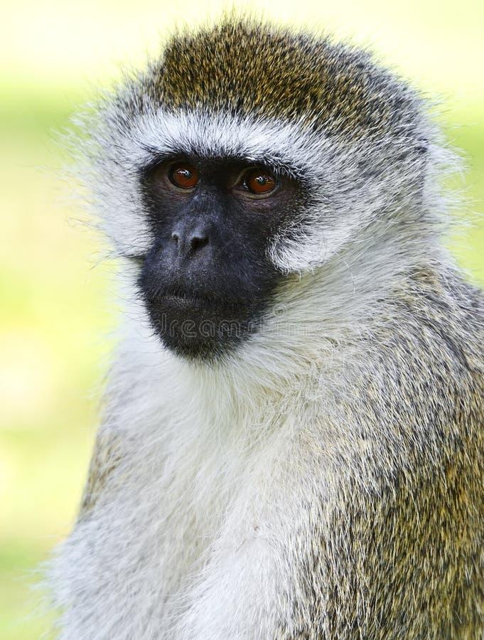 vervet обезьяны стоковые фотографии rf