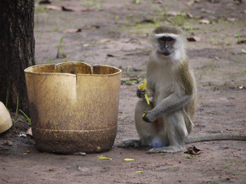 vervet обезьяны стоковая фотография rf