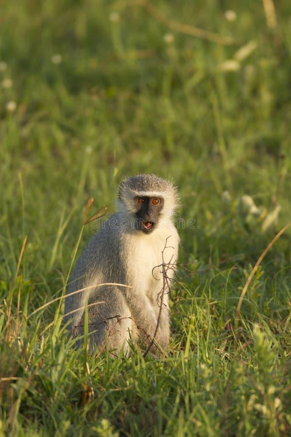 vervet обезьяны стоковые изображения rf