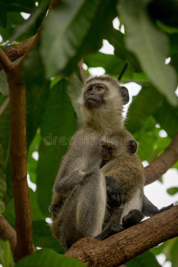 Vervet-Affemutter, die Baby im Baum umarmt stockfotografie