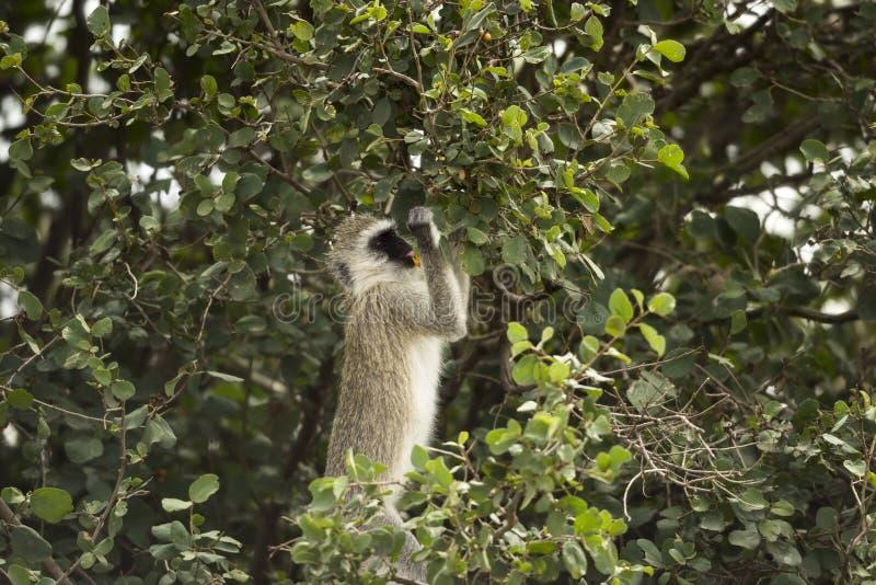 Vervet apa, Chlorocebus pygerythrus som äter, Serengeti fotografering för bildbyråer