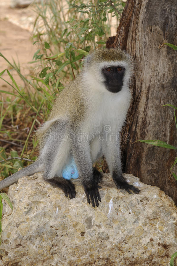 Vervet im Serengeti Nationalpark. Tanzania lizenzfreies stockbild