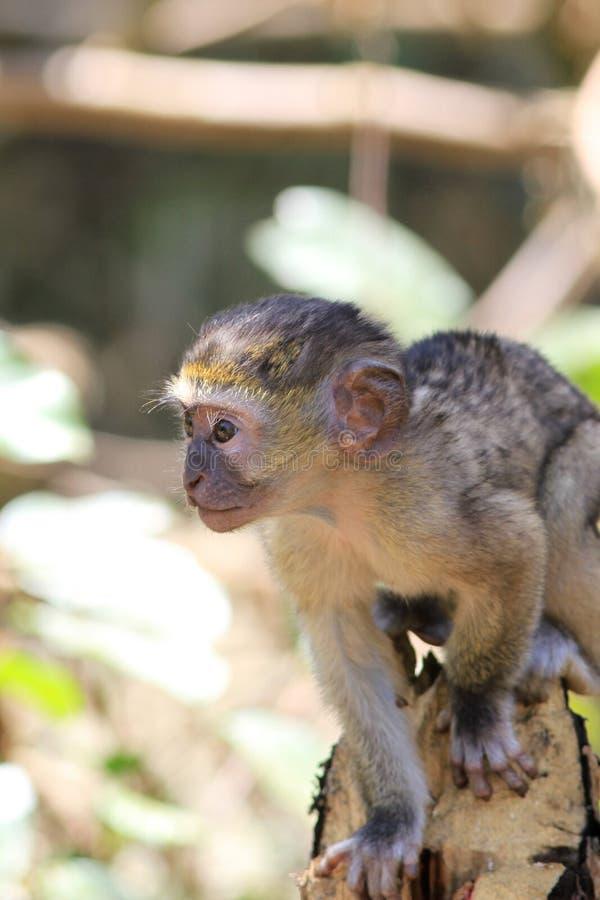 Vervet małpy lisiątko obrazy royalty free