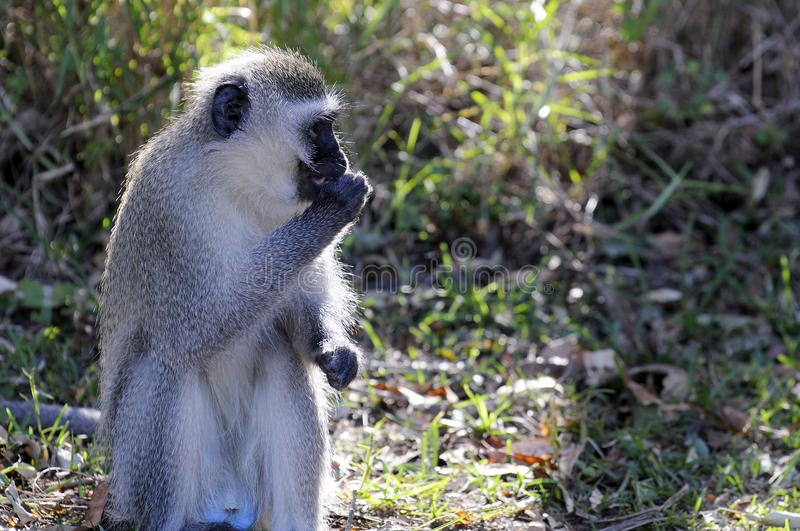 Download Vervet Monkey stock photo. Image of great, african, brown - 18036470
