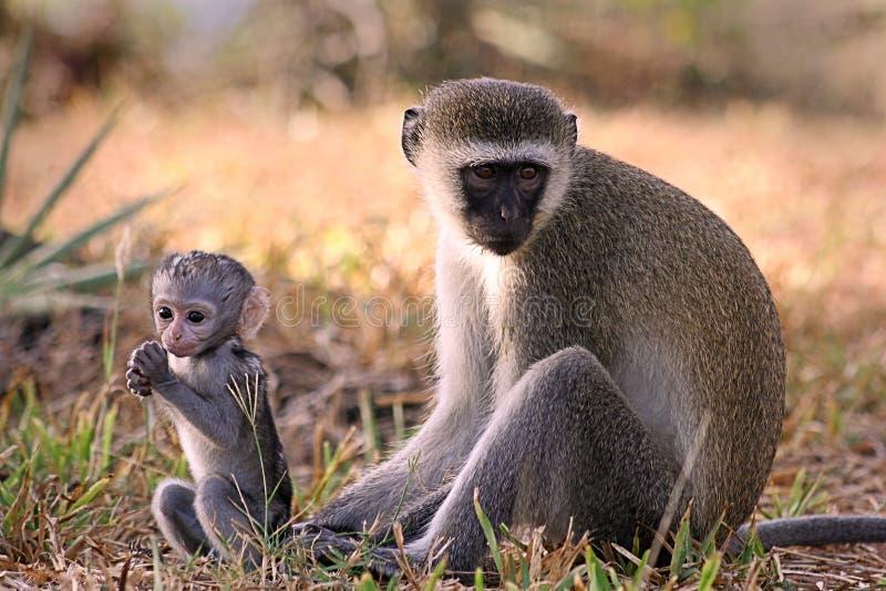 Download Vervet monkey stock image. Image of compassion, primate - 2141507
