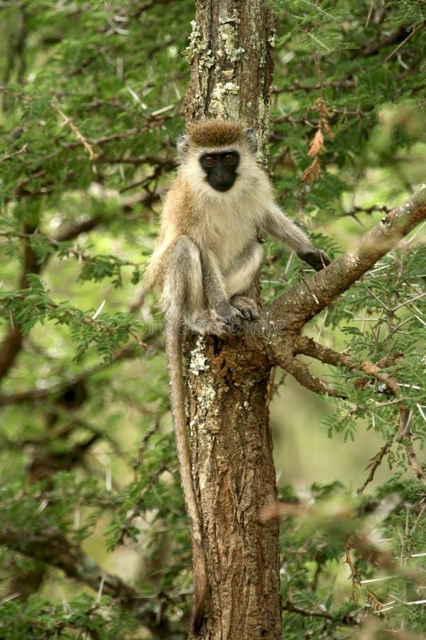 Download Vervet Monkey Stock Photo - Image: 23986710