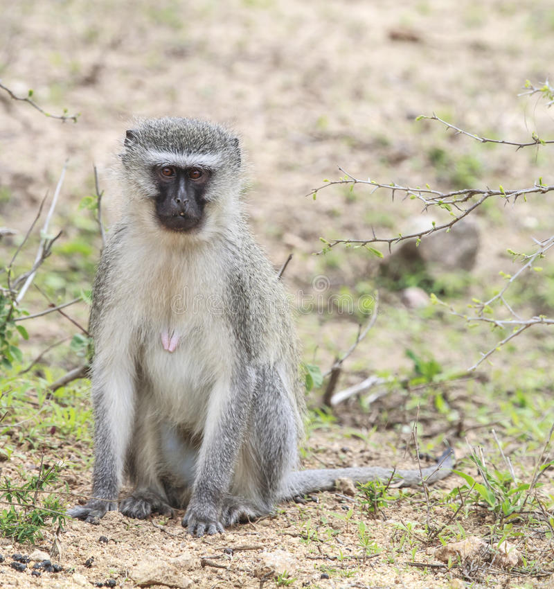 Download Vervet Monkey stock photo. Image of zimbabwe, animals - 27294180
