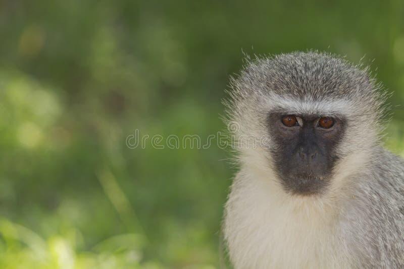 Download Vervet Monkey stock photo. Image of africa, environment - 28648190