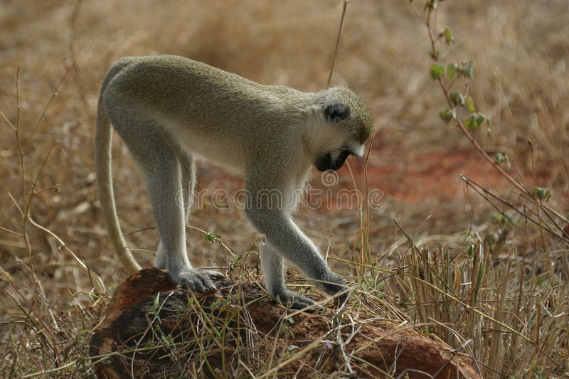 Download Vervet Monkey Royalty Free Stock Photos - Image: 329928