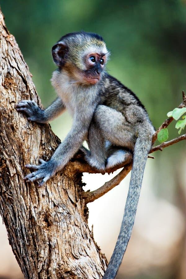 Free Vervet Monkey Stock Image - 5086981