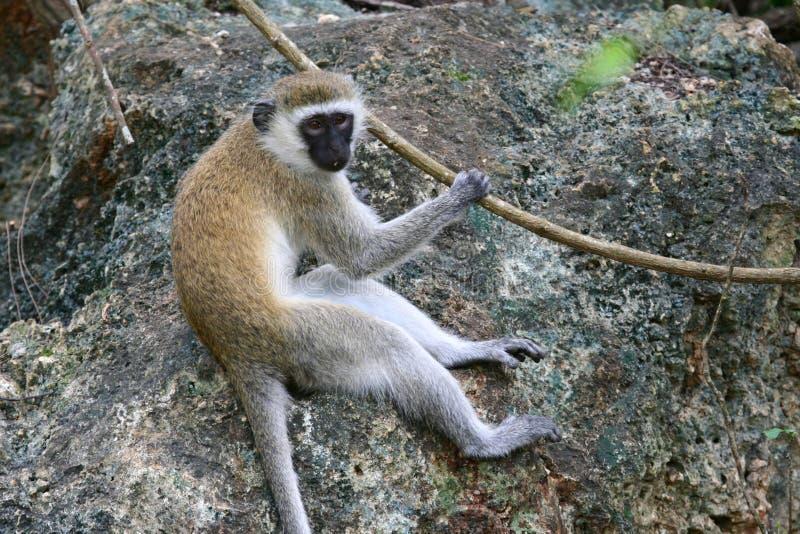 Download Vervet monkey stock photo. Image of africa, closeup, national - 9050156