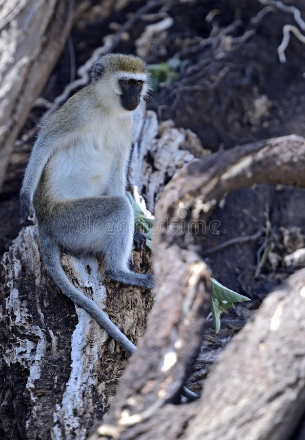 Download Vervet Monkey stock image. Image of natural, primates - 39513841