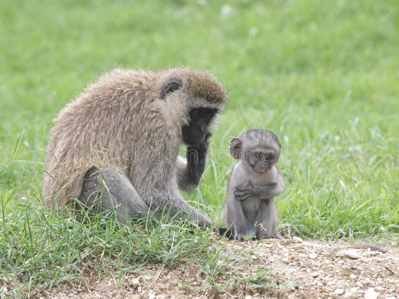 Download Vervet Monkey and Baby stock image. Image of bond, creature - 23066921