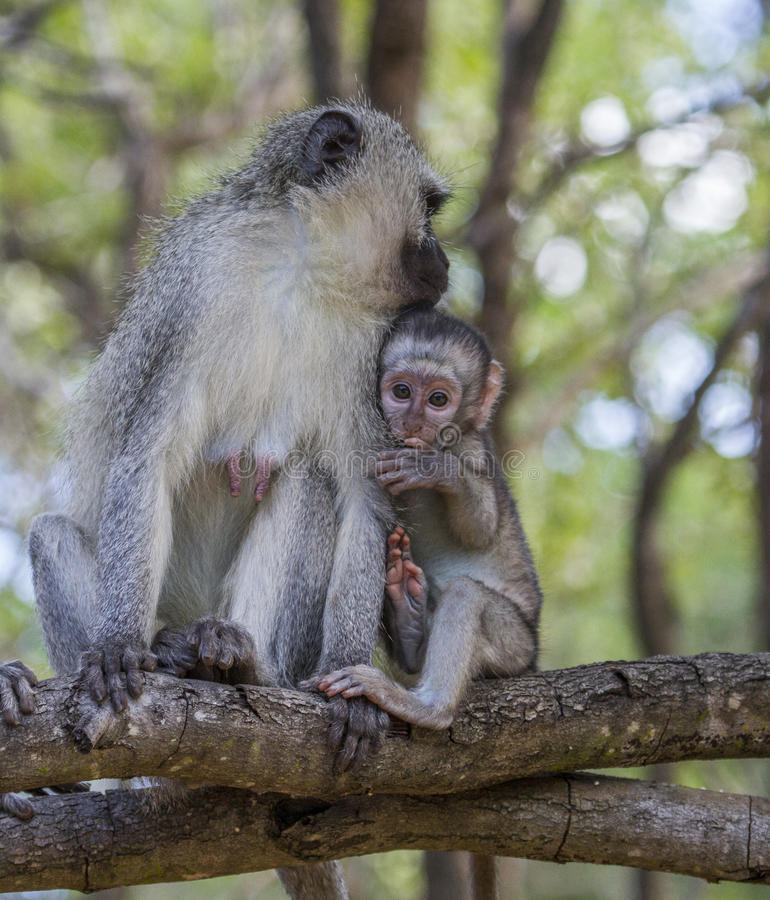 Vervet Monkey and Baby stock images