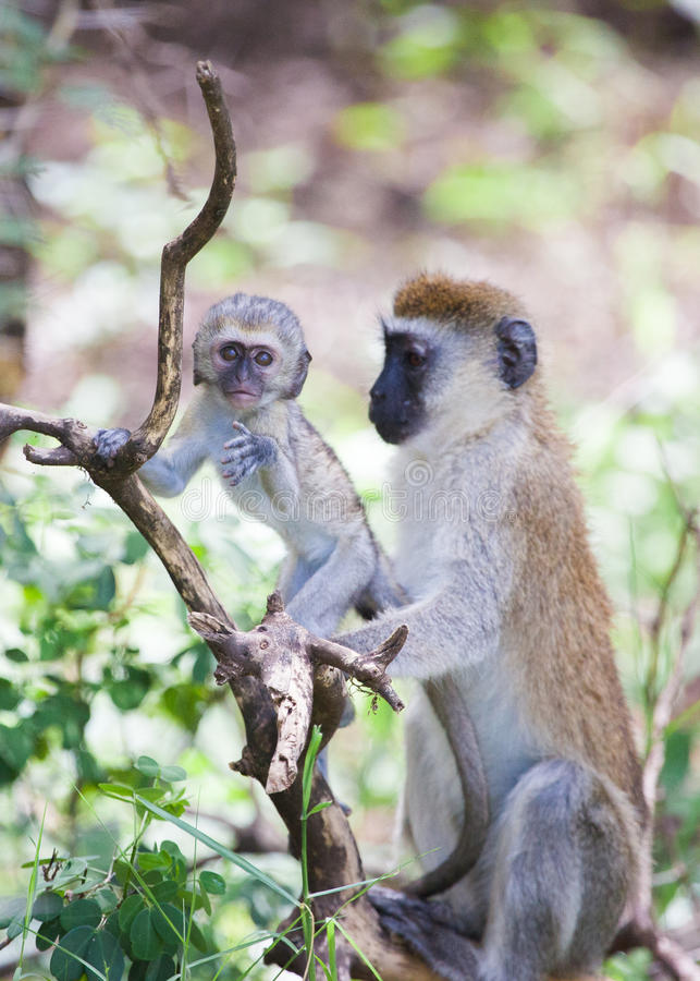 Vervet monkey baby and mother on the tree royalty free stock image