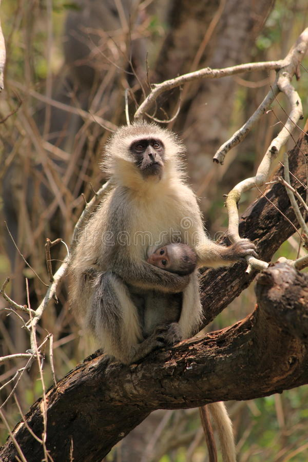 Vervet monkey with baby royalty free stock photo