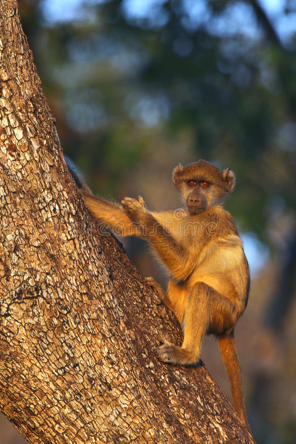 Download Vervet Monkey - Botswana Stock Images - Image: 10759294