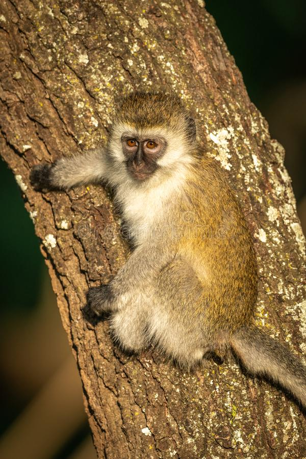 Vervet monkey with catchlight clings to tree royalty free stock images