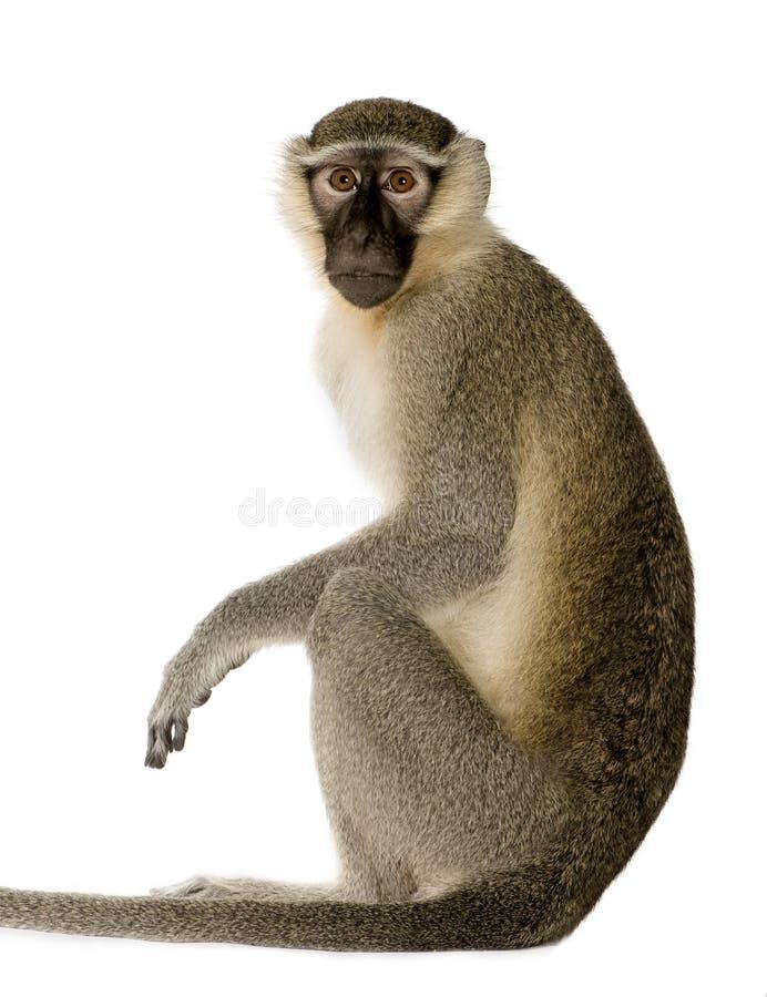 Free Vervet Monkey - Chlorocebus Pygerythrus Royalty Free Stock Photo - 5204555