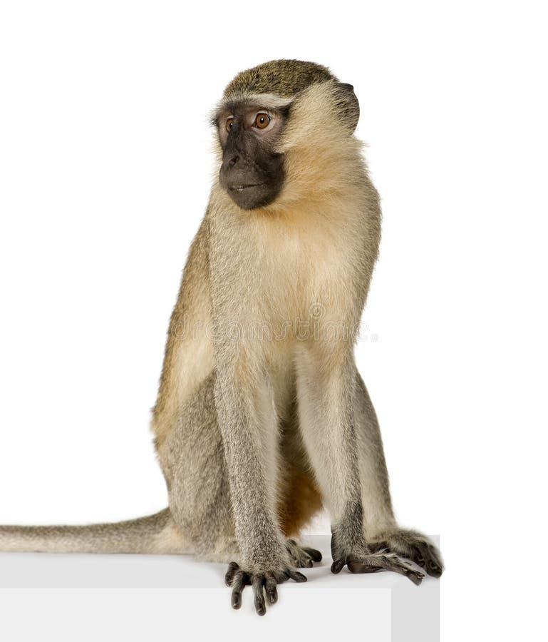 Vervet Monkey - Chlorocebus pygerythrus stock images