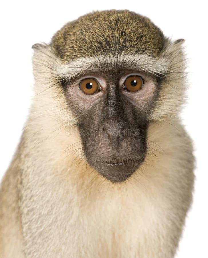 Free Vervet Monkey - Chlorocebus Pygerythrus Stock Image - 5204641