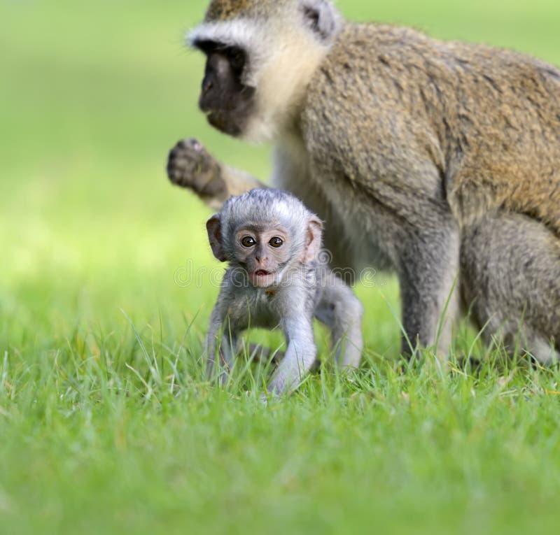 Download Vervet monkey stock photo. Image of nature, dangerous - 39514522
