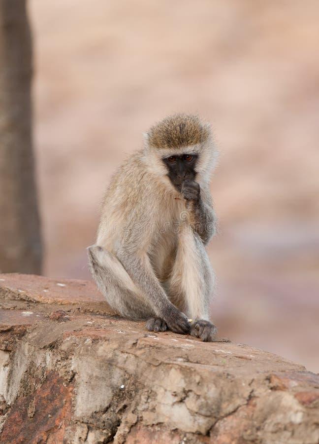 Vervet Monkey contemplating. Scientific name:cercopthecus aethiops, or Tumbiili in Swaheli in the Tarangire National Park, Tanzania royalty free stock photos