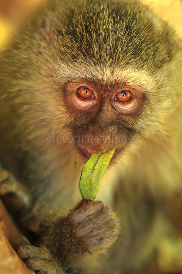 Vervet Monkey eating stock image