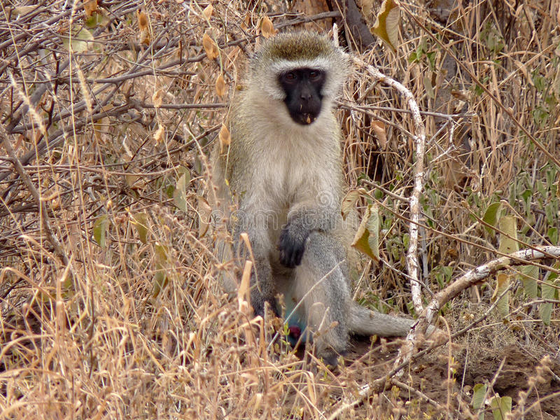 Download Vervet Monkey stock photo. Image of monkey, mammal, wildlife - 35339610