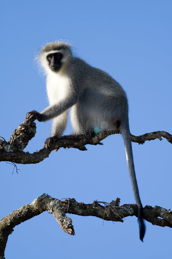 A Vervet Monkey lookout about to call the alert royalty free stock photos