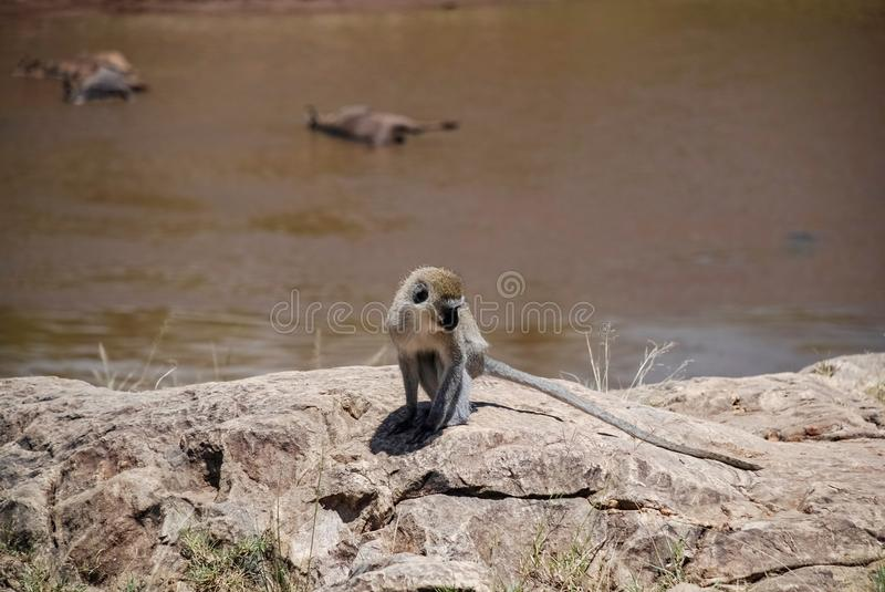 Vervet monkey Maasai Mara National Reservek Kenya royalty free stock photo
