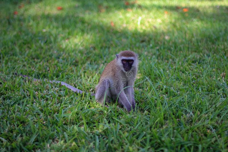 Vervet Monkey on the masai mara kenya stock images