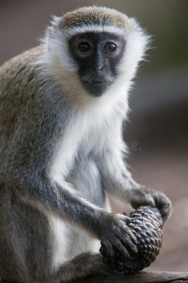 Download Vervet Monkey stock photo. Image of nature, cone, cute - 30339068