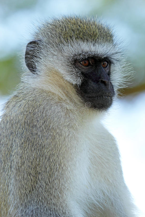 Download Vervet monkey stock photo. Image of animal, chlorocebus - 32818416