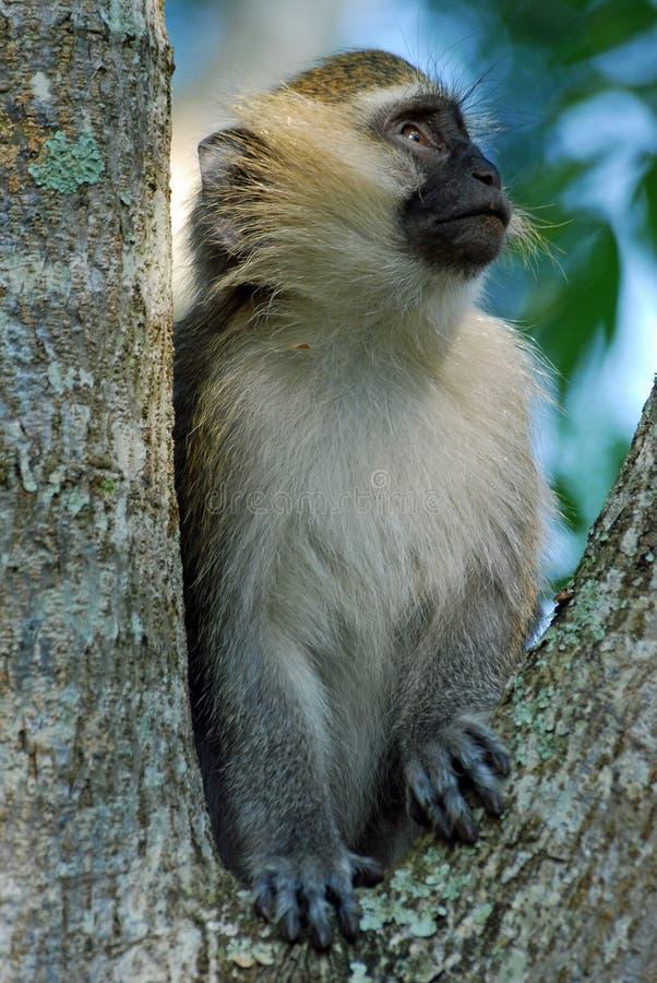 Uganda, Vervet Monkey, ape sitting in a tree. Uganda, Vervet Monkey, ape sitting and looking in a tree, Chlorocebus pygerythrus, old world monkey royalty free stock photography