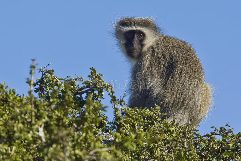 Download Vervet monkey in a tree stock image. Image of cape, head - 25981229