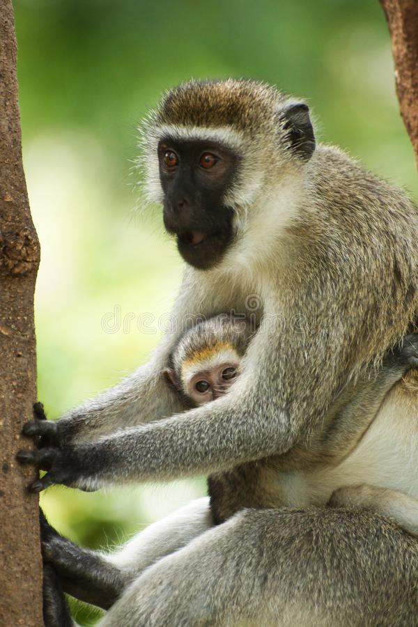 Vervet monkey with a young stock photography