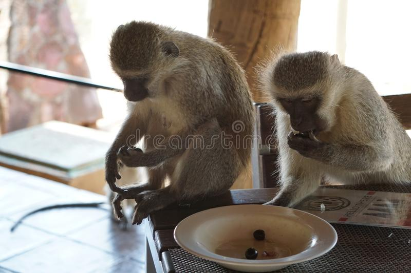Vervet Monkeys stealing olives from the plate royalty free stock images