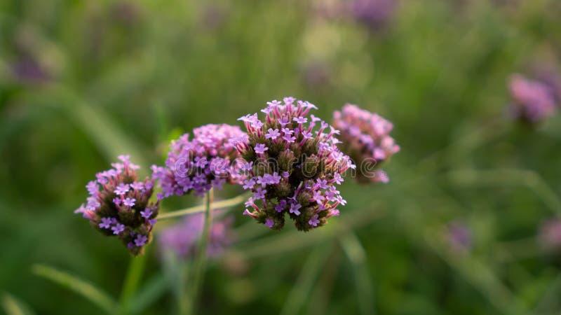 Vervian在被弄脏的绿色叶子的花开花的紫色小的瓣的领域,知道作为vervian的Purpletop或马鞭草属植物 图库摄影