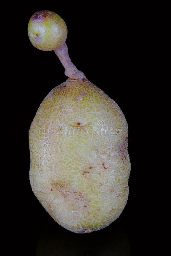 Vervormde biologische aardappel royalty-vrije stock fotografie